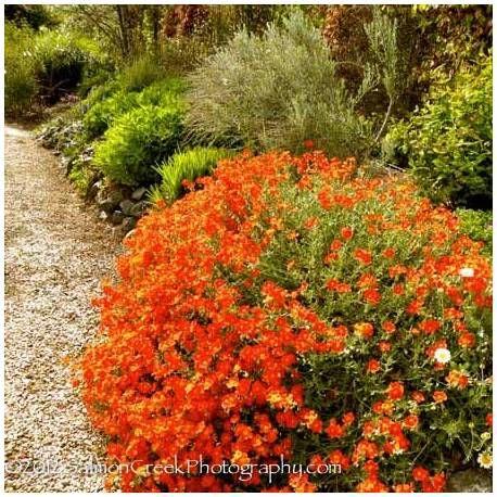 Posłonek 'Orange Pheonix' Helianthemum hybridum