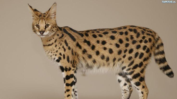 Dziki, Kot, Serwal