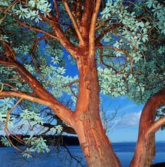 Arbutus marina often called the strawberry tree, is a hybrid tree popular in landscaping. Gardeners appreciate its striking bark, evergreen leaves and pendulous clusters of ...