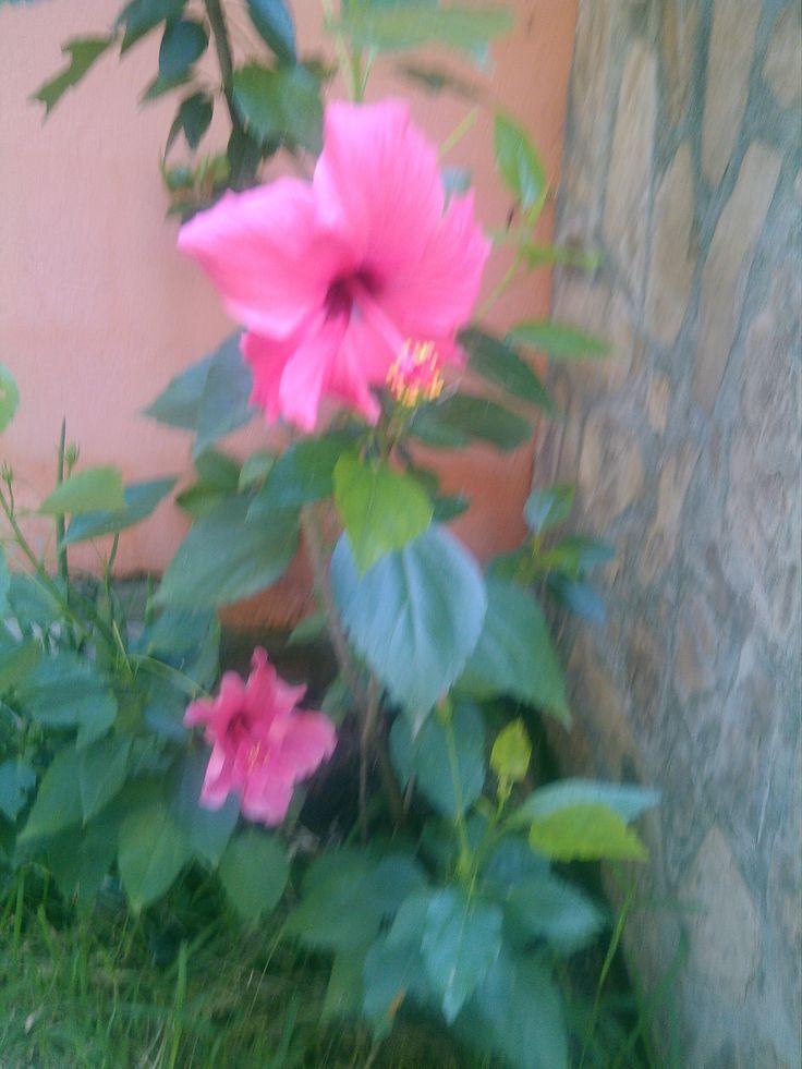 Tulipan de flor sencilla