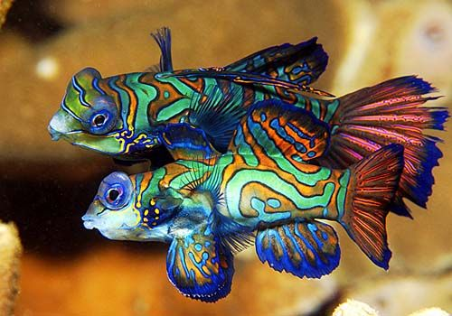 Mother Nature has the greatest color combinations and graphic designs.  Here are two Mandarin fish