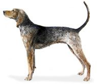 American coonhound. Sweet, mellow, social