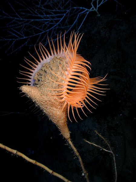 The Venus flytrap sea anemone is a large sea anemone resembling a Venus Flytrap. Like it's plant namesake, it is believed to close its tentacles to capture prey or to protect itself. It is found in and around the Gulf of Mexico.