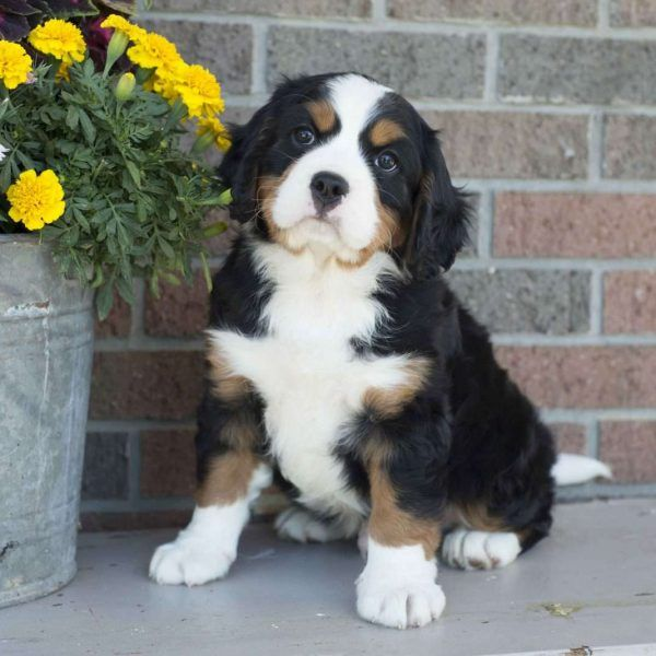 Miniature Bernese Mountain Dog Puppies For Sale Greenfield Puppies Miniature Bernese Mountain Dog Bernese Mountain Dog Puppy Bernese Mountain Dog
