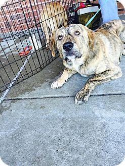 ST LOUIS, MO - Plott Hound Mix. Meet Ezra, a dog for adoption. http://www.adoptapet.com/pet/16863305-st-louis-missouri-plott-hound-mix