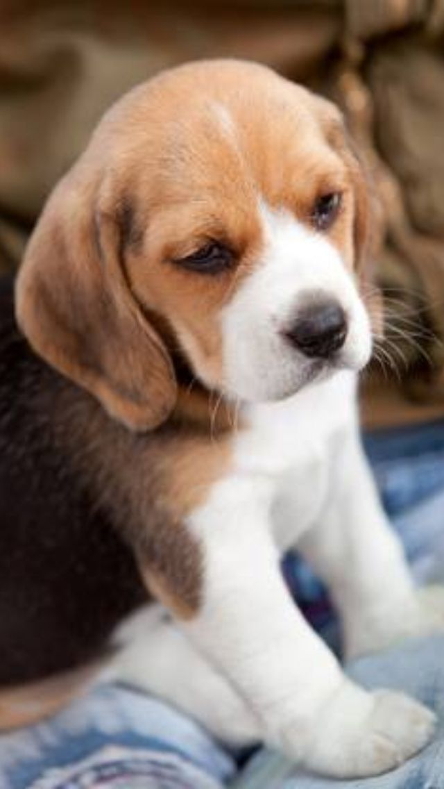 Beagle pup, so cute!! I want one.