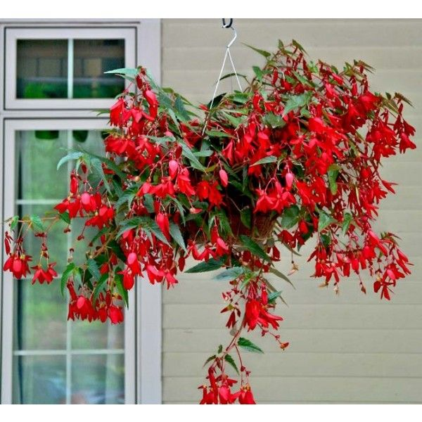 Begonia 'Encanto Red' (Begonia boliviensis hybrid)
