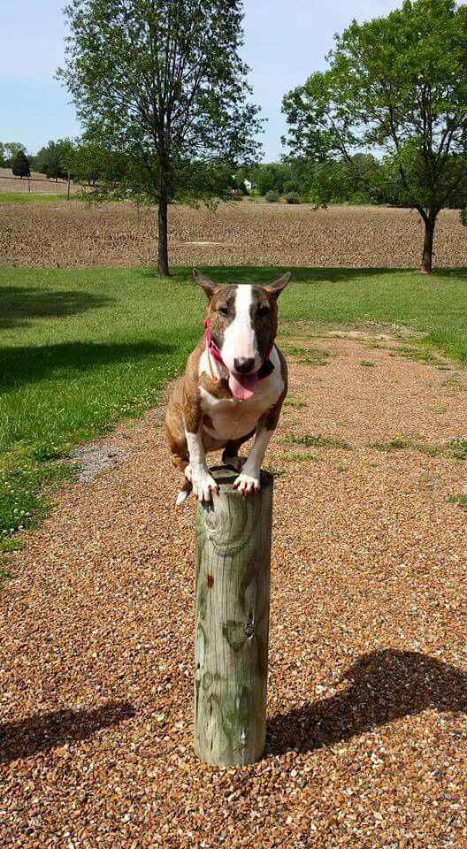 Bullie balance. Maybe time for some agility for this one!