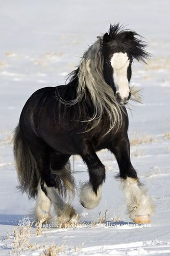 Beautiful Gypsy Vanner Horse... Gorgeous!