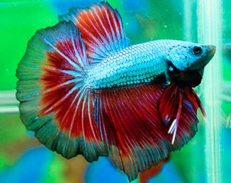 109 best images about fish heaven on pinterest betta for What type of water do betta fish need
