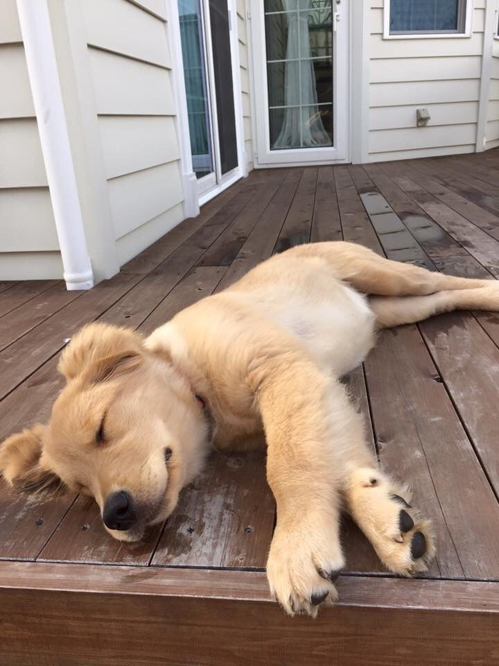 Golden Retriever Puppy Sleeping And Laying Down On A Down