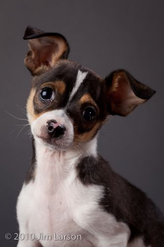 chihuahua and rat terrior mix...might be getting something that looks like this if the parents approve...ssssoooooo cute!!!!