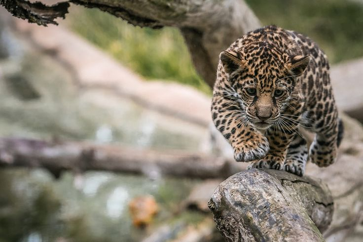 """Jaguar cub - """"Valerio"""" 
