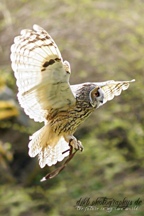 ...Beautiful owl in flight (falconry...or is it owlry? lol)