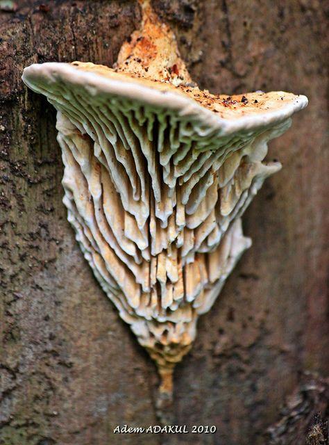 Daedalea quercina (roble mazegill hongo)