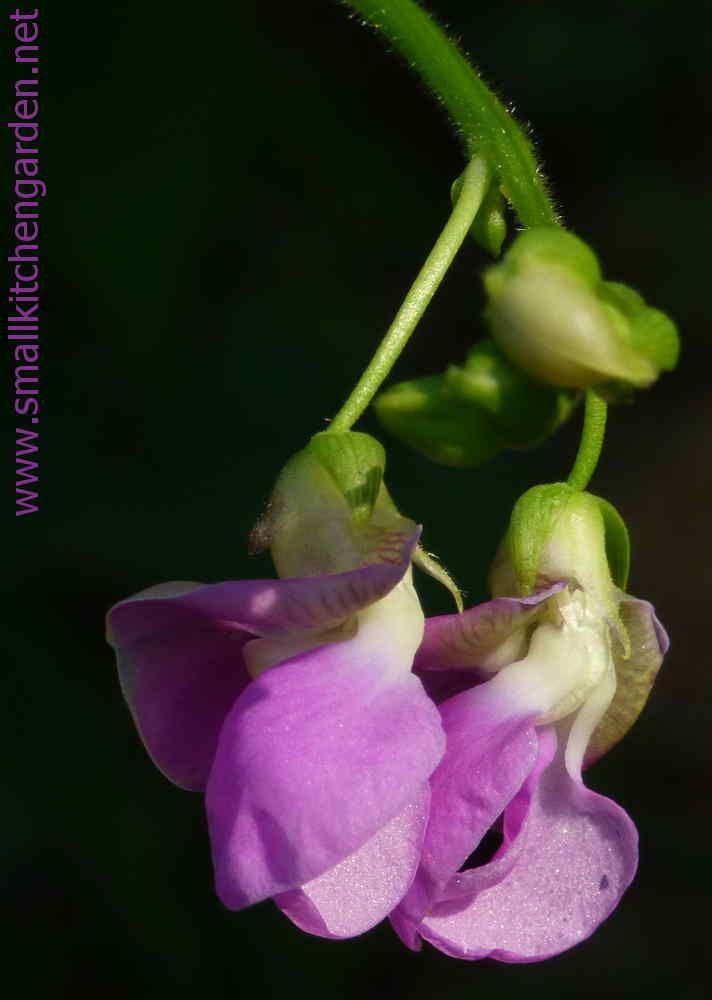 Climbing bean blossoms
