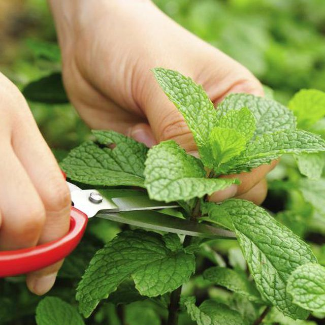How To Get Rid Of Mint Growing In Garden