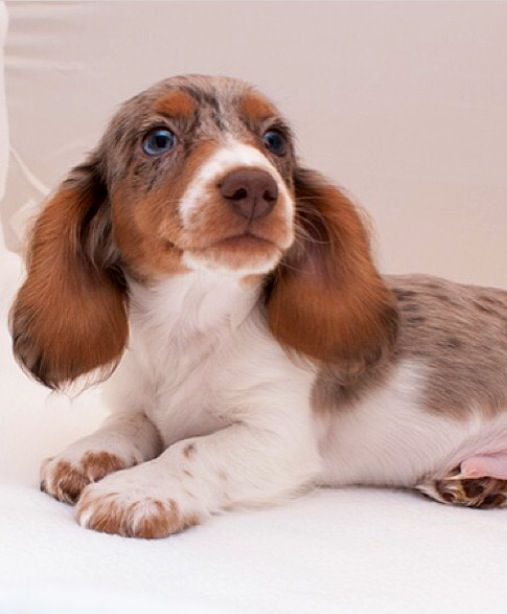 ❤️ Beautiful piebald mini Dachshund - my favorite of all the Doxie colors.