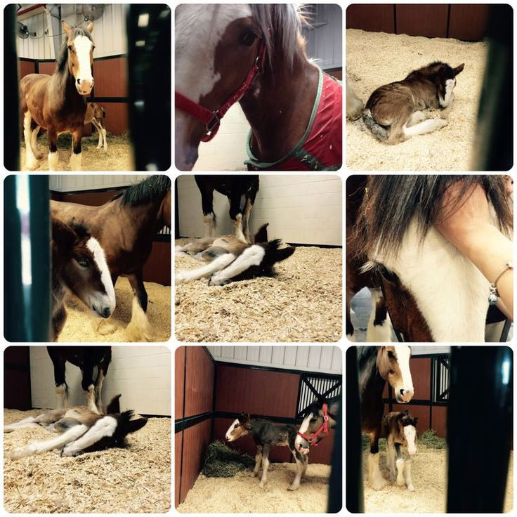 Clydesdale foals!