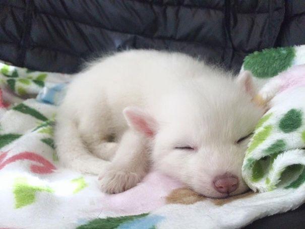 ¿Os acordáis de Rylai, el cachorrito de zorro doméstico de pelaje blanco como el mármol? Pues ha cumplido dos meses y cada vez está más grande y adorable.