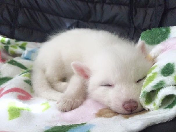 rylai-siberian-fox-red-silver-pet-domesticated-14 | This Domesticated Baby Red Fox Is The Sleepiest Pet Ever