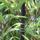Phyllostachys nigra, summer crop. Also, and I can't stress this enought, it's black.