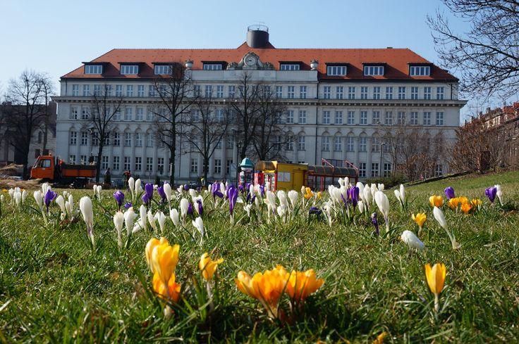 Wiosna zawitała również na Skwer Doncaster :-) W tle - budynek Wojewódzkiego Sądu Administracyjnego (fot. K. Krzemiński) #gliwice #wiosna #springtime