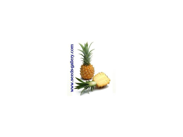 3,00 €Ananas nanus 'Miniature Pineapple' Seeds Price for Package of 5 seeds. A miniature version of the larger species of pineapple is the baby pineapple, also referred to as a mini pineapple. This variety of fruit grows only to a height of 12 to 15 cm with a diameter of approximately 9,5 cm. The flavour and appearance of the baby pineapple is the same as the larger pineapple. However, the i