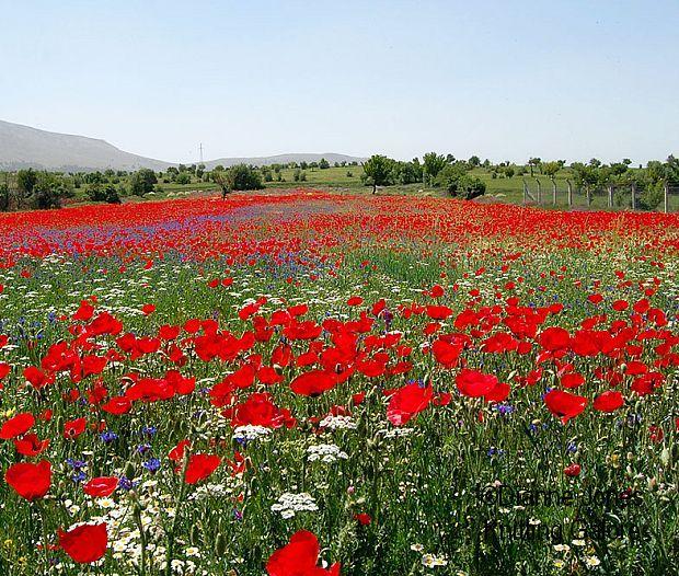 Field of Poppies Gallipoli Turkey