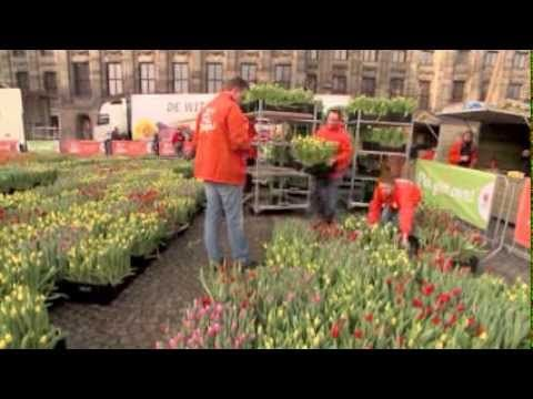TulipMen the art project by artist Gaby Gaby gives 200,000 tulips away for Free on the Dam in Amsterdam