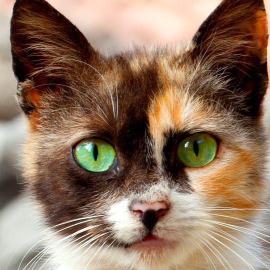 Gorgeous Calico! - Cat Smirk