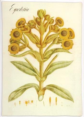 Espeletia sp. Lámina de la Expedición Botánica (1783-1816).