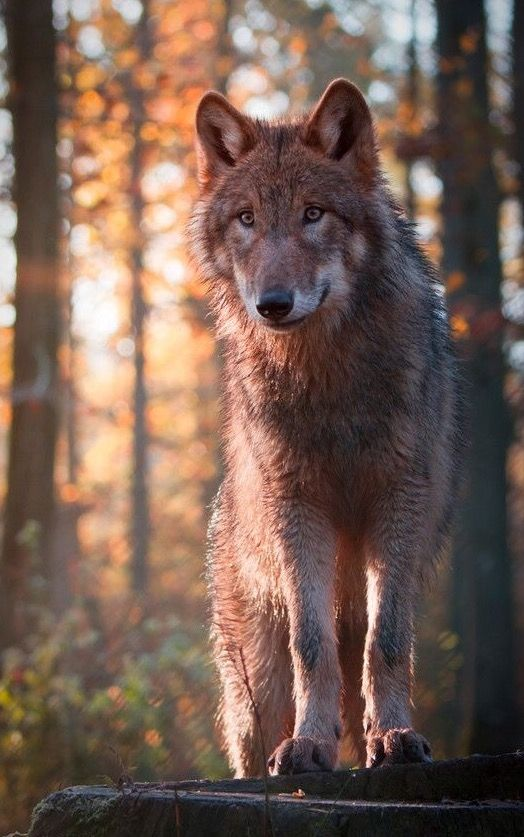 Let Me. Be. Save the Wolves.