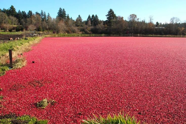Yellow Point Cranberries south of Nanaimo  host their Cranberry Harvest Days each fall.