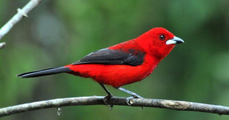 Tiê-sangue é ave-símbolo da Mata Atlântica e tem canto melodioso
