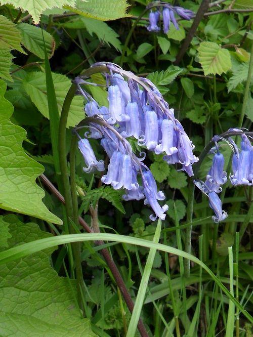 Bluebells  England