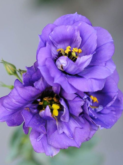 flowersgardenlove:  Purple Lisianthus Beautiful gorgeous pretty flowers