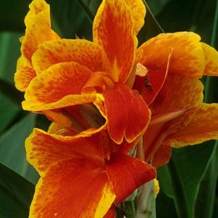 Canna Lily Tropicana – Canna Lilies from American Meadows
