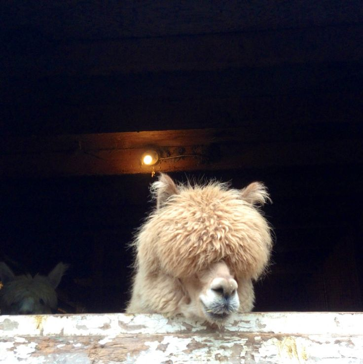Alpaca before shearing.