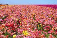 Ranunculus flowers Garden images wallpapers