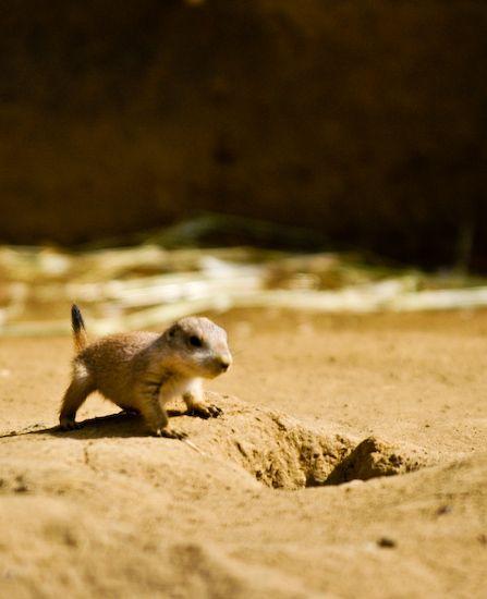 a baby prairie dog