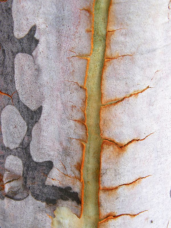 Some scars are so beautiful. / Certaines cicatrices sont si belles.  / Kahlwerk. / Eucalyptus bark. / Ecorce d'Eucalyptus.