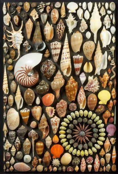 Tableau de coquillage de l'océan Indien. Vente aux #encheres du 12/04/13 par Bailly-Pommery & Voutier Associés