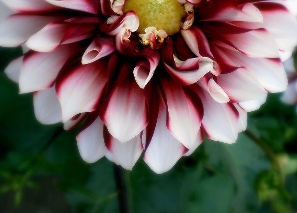 Dahlia flower  #flowers