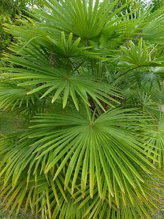 https://faaxaal.blogspot.com/2018/03/Trachycarpus-fortunei-Palmier-de-Chine-Chinese-windmill-palm.html - Trachycarpus fortunei - Palmier de Chine - Chinese windmill palm - Palmiers asiatiques - Palmiers de Chine - Palmiers chinois - Trachycarpus du Japon - Flore du Myanmar - Palmier indigène de Chine - Palmier indigène du Japon - Flore de l'Inde - Palmiers de Birmanie - Photo de Trachycarpus - Photo d'Arécacée - Photo de Palmier