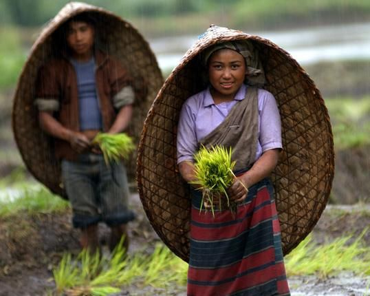 "Khasi farmers with their traditional ""Knup"" (bamboo hat) planting paddy seedlings in monsoon rain at Shillong, capital of Meghalaya. Photo: Ritu Raj Konwar."