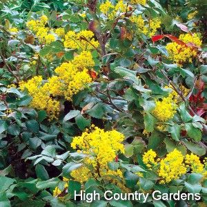 "*12-18"" x 36+"" w* This versatile native evergreen shrub is a great plant in so many ways. An early to mid-spring bloomer, it perfumes the garden with a profuse display of fragrant bright yellow flowers that set attractive purple berries ripening by fall. Use it as a permanent, long lived groundcover under trees and large shrubs where its shiny evergreen foliage provides year round interest. This is an essential species for providing native bee species with pollen and nectar. Grown from seed…"