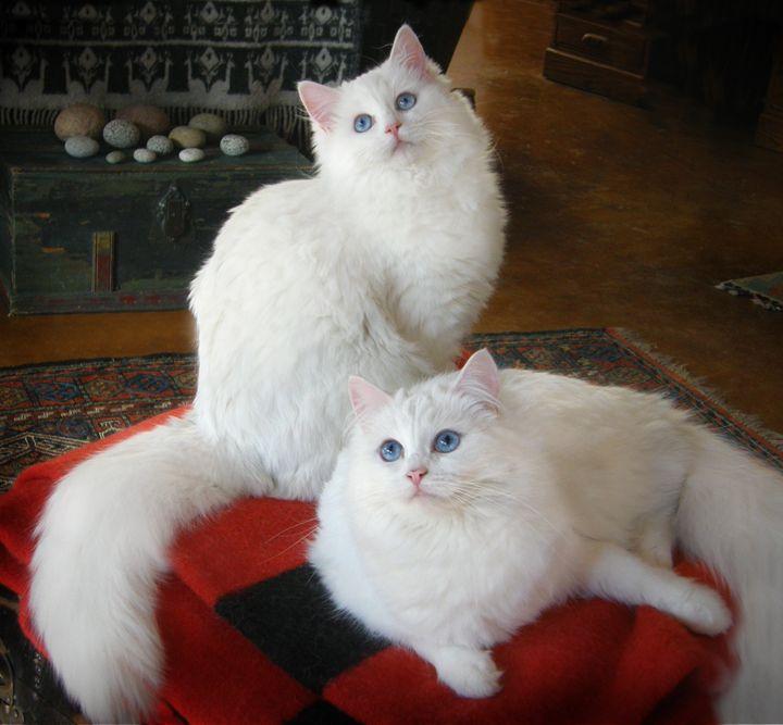 Blue eyed white ragdoll cat