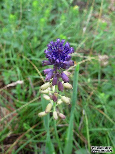 (Muscari Comosum). Flori mov de munte şi de câmp