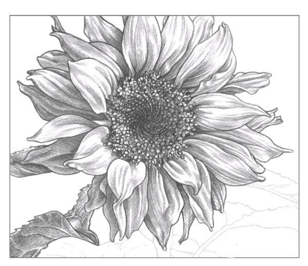 Картинки по запросу подсолнухи рисунок карандашом